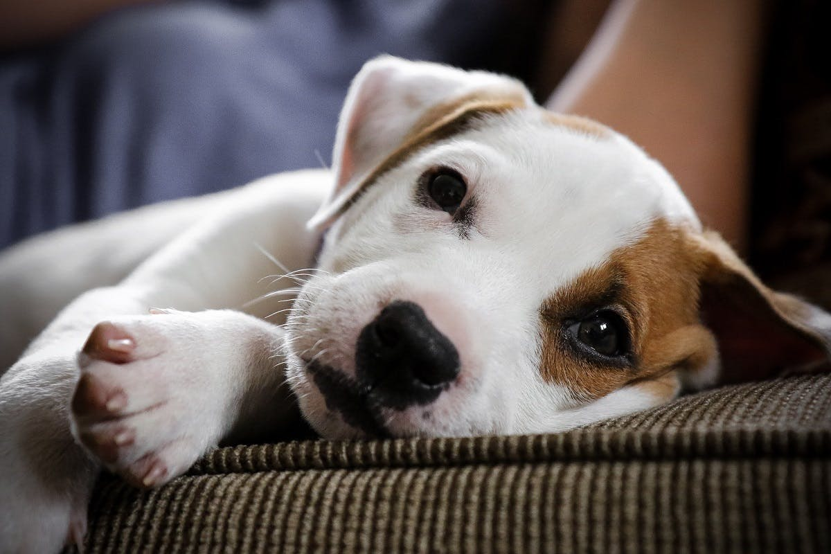 White puppy with brown spot realxes on the couch