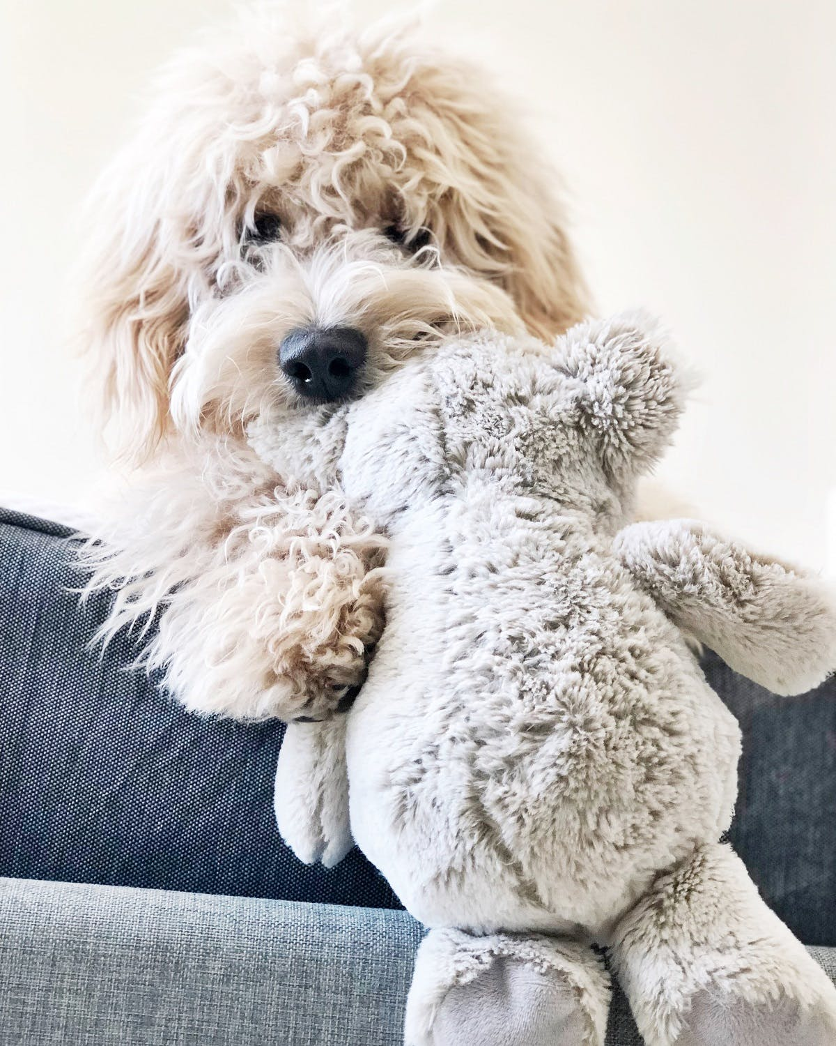 Dog with curly mop fur holds a stuffed bear in her mouth
