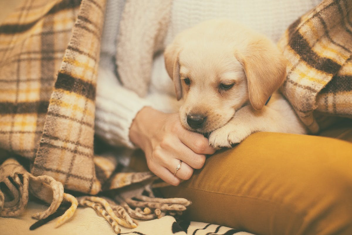 Retriever puppy sitting in his owners lap