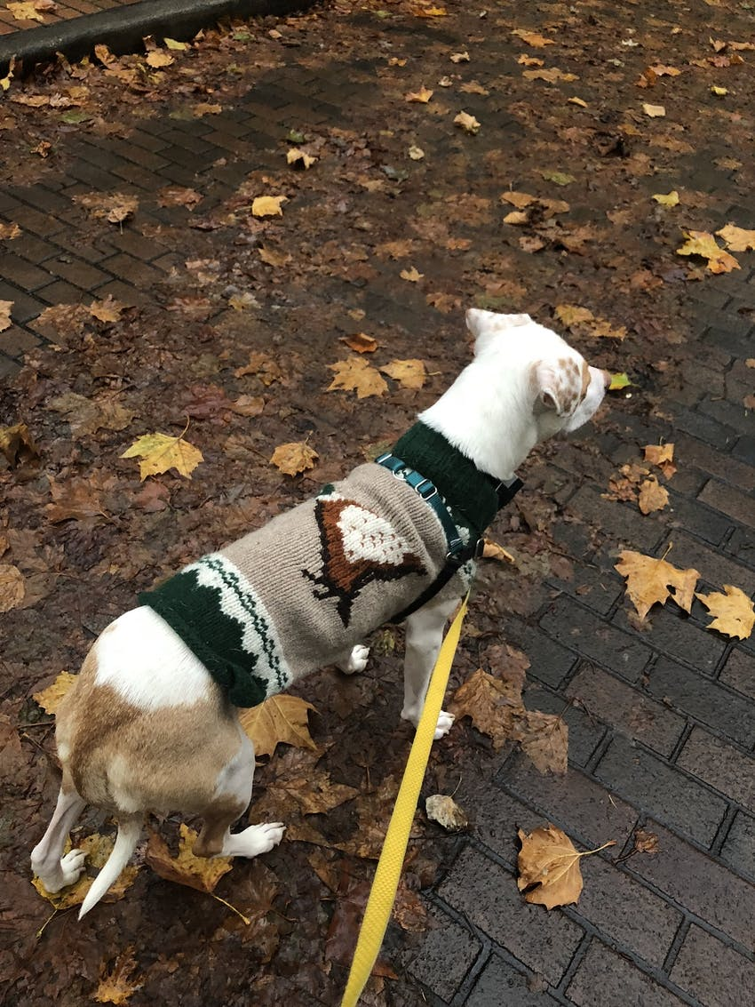 A dog wearing a little sweater goes for a walk at the park