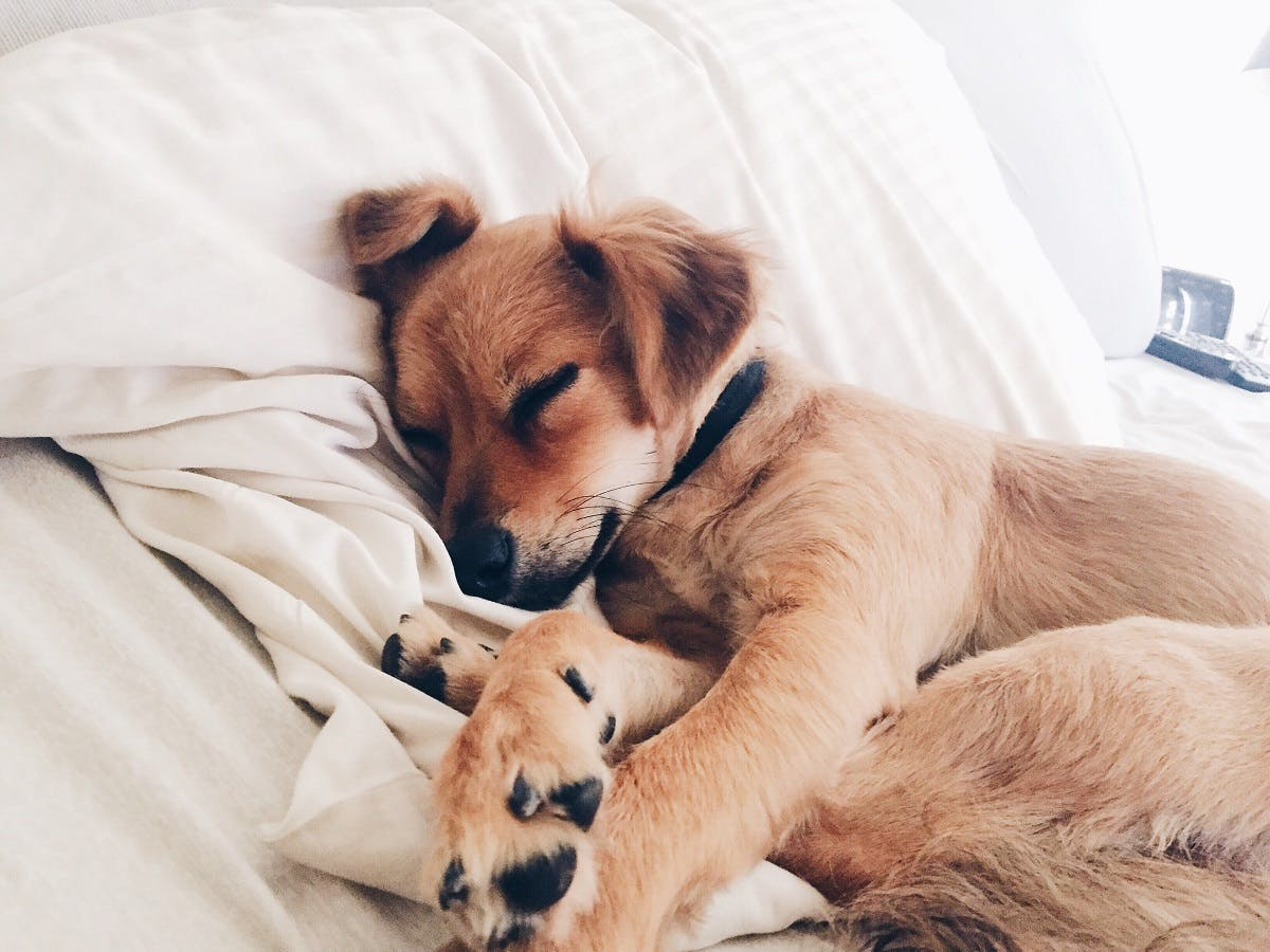 A puppy snuggles in bed with his paws sticking out