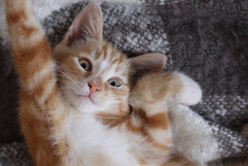 Orange and white striped kitten