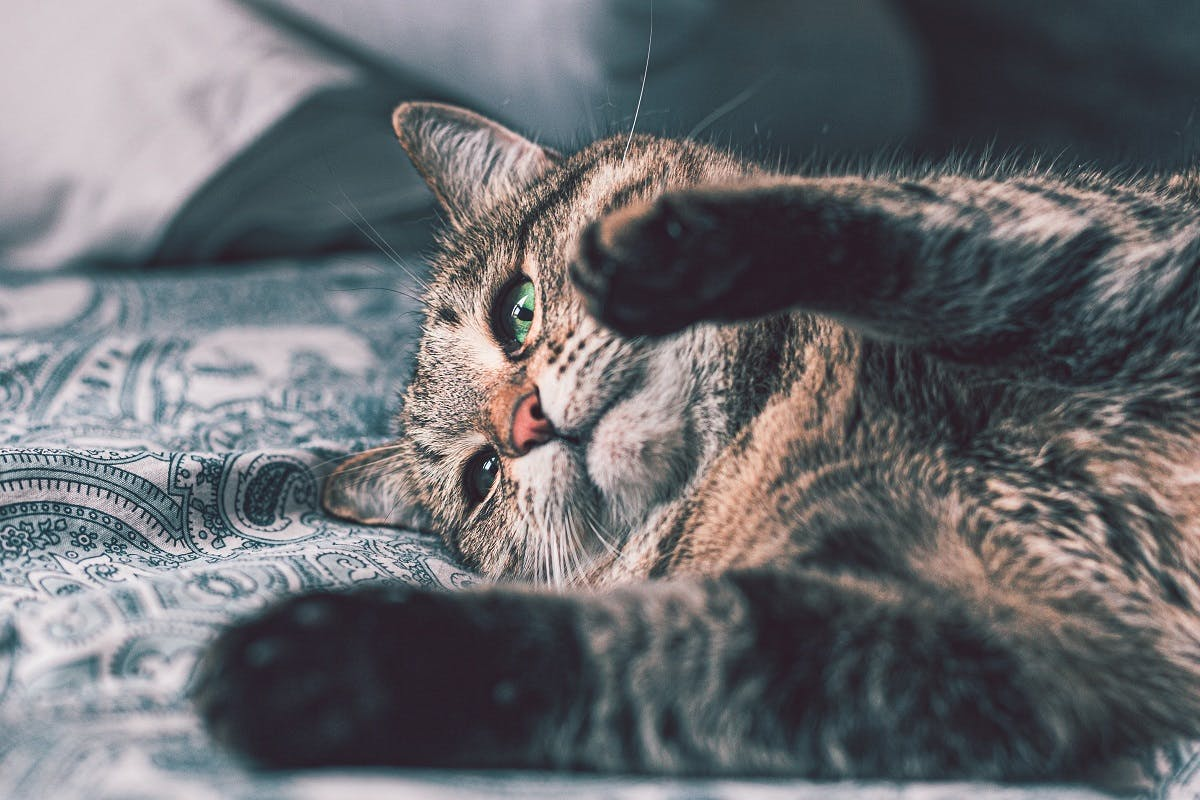 A striped grey cat lays in bed with his paws up