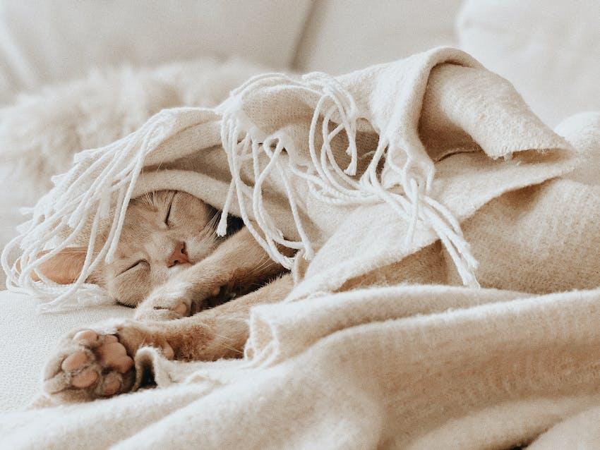 A tan cat snuggles underneath a blanket to sleep
