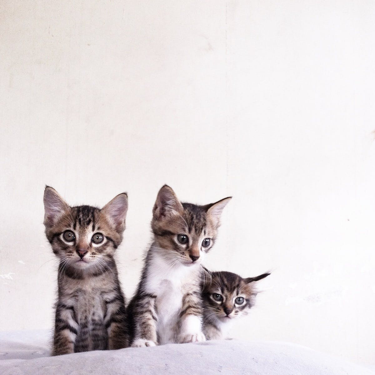 Three small tabby kittens sit on a white blanket