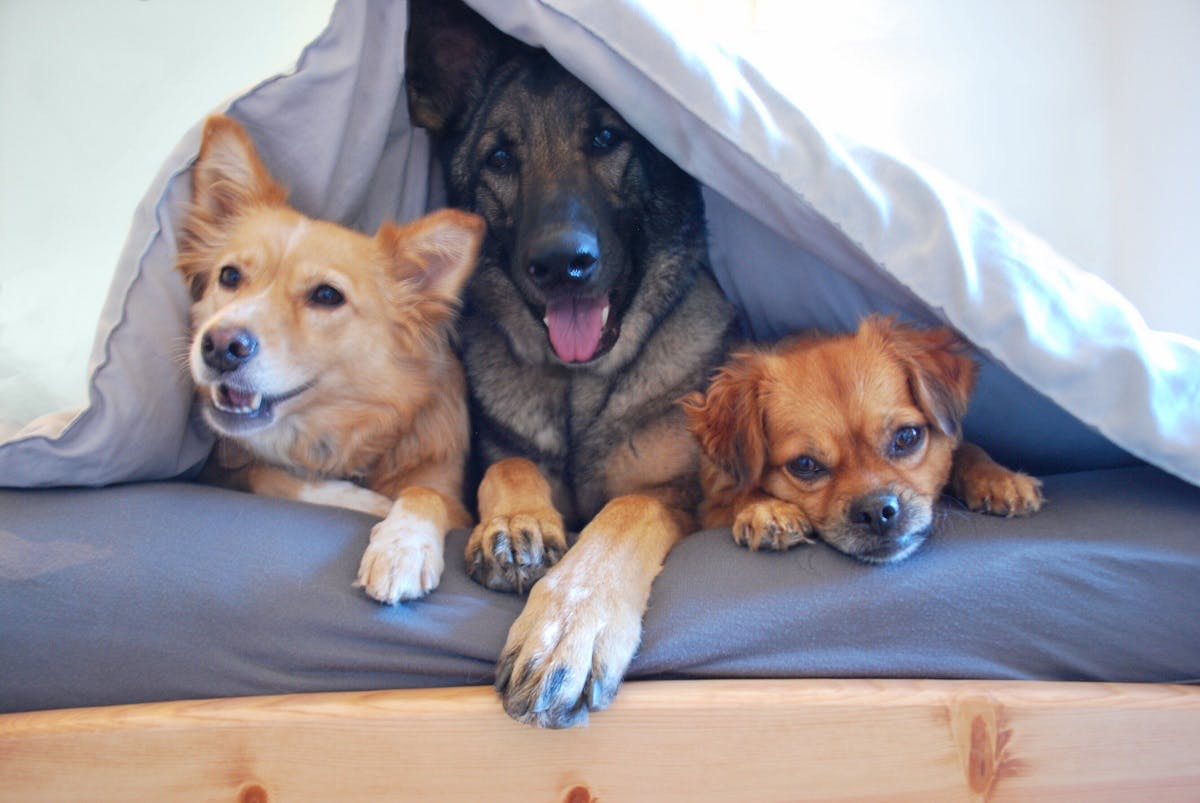 German Shepherd, Corgi and another dog cuddle under a blanket