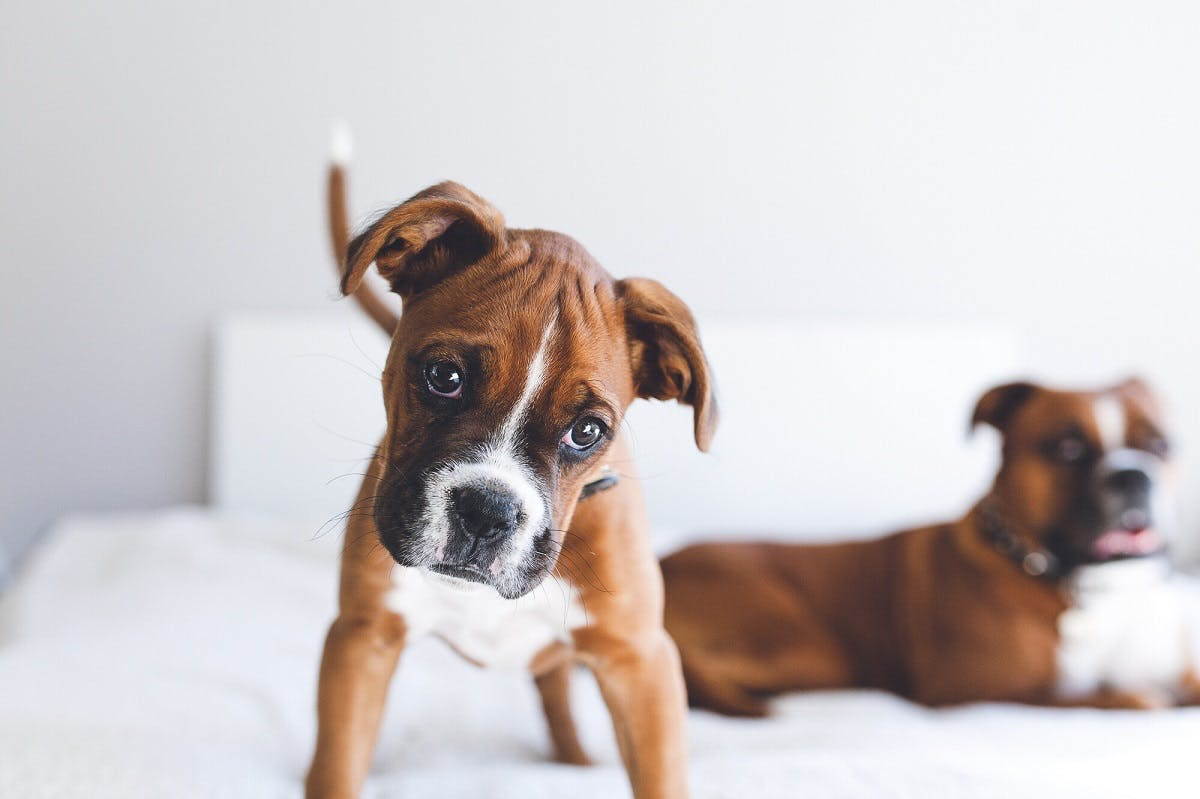 A Boxer dog puppy and mom on a white bed