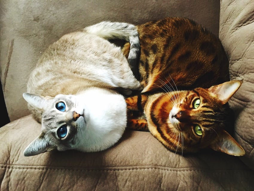 Two pretty-colored cats cuddle together on the couch