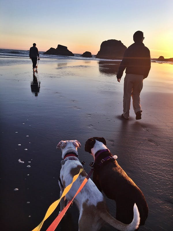 Two dogs wearing bright leashes go for a walk on the beach