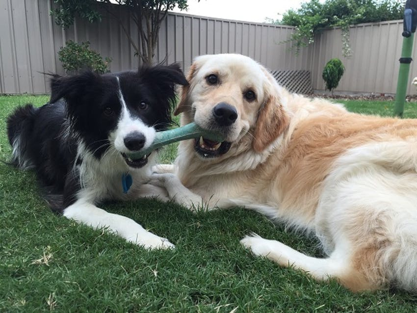 Two dogs outside chewing on a toy together
