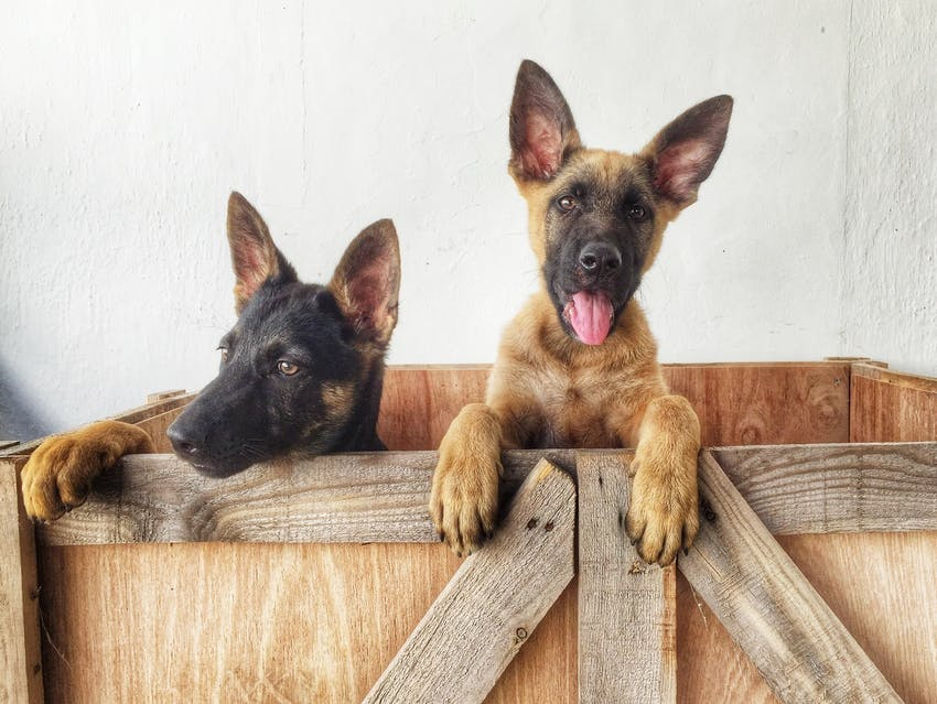 Two German Shepherd puppies sitting together in a wooden crate