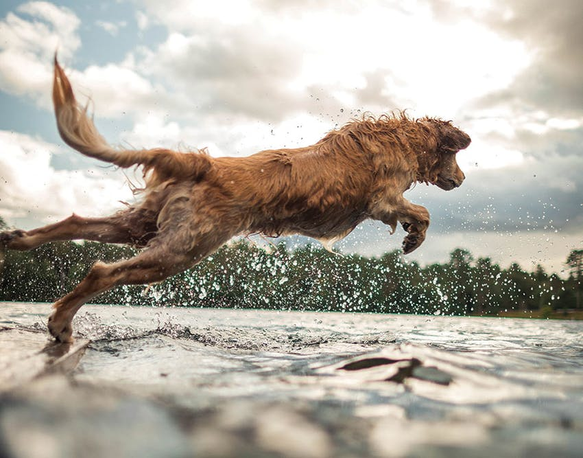 A wet dog jumps into a lake