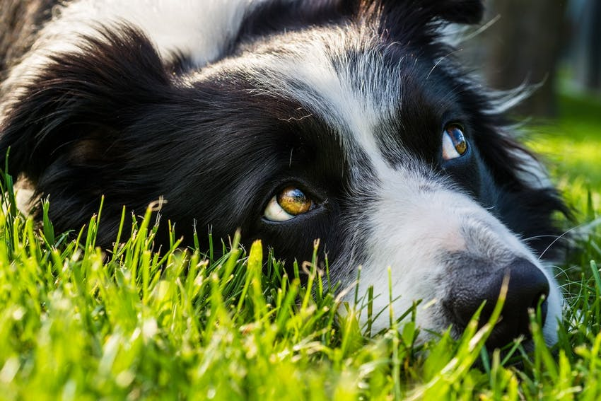 A white and black dog lays down in the grass