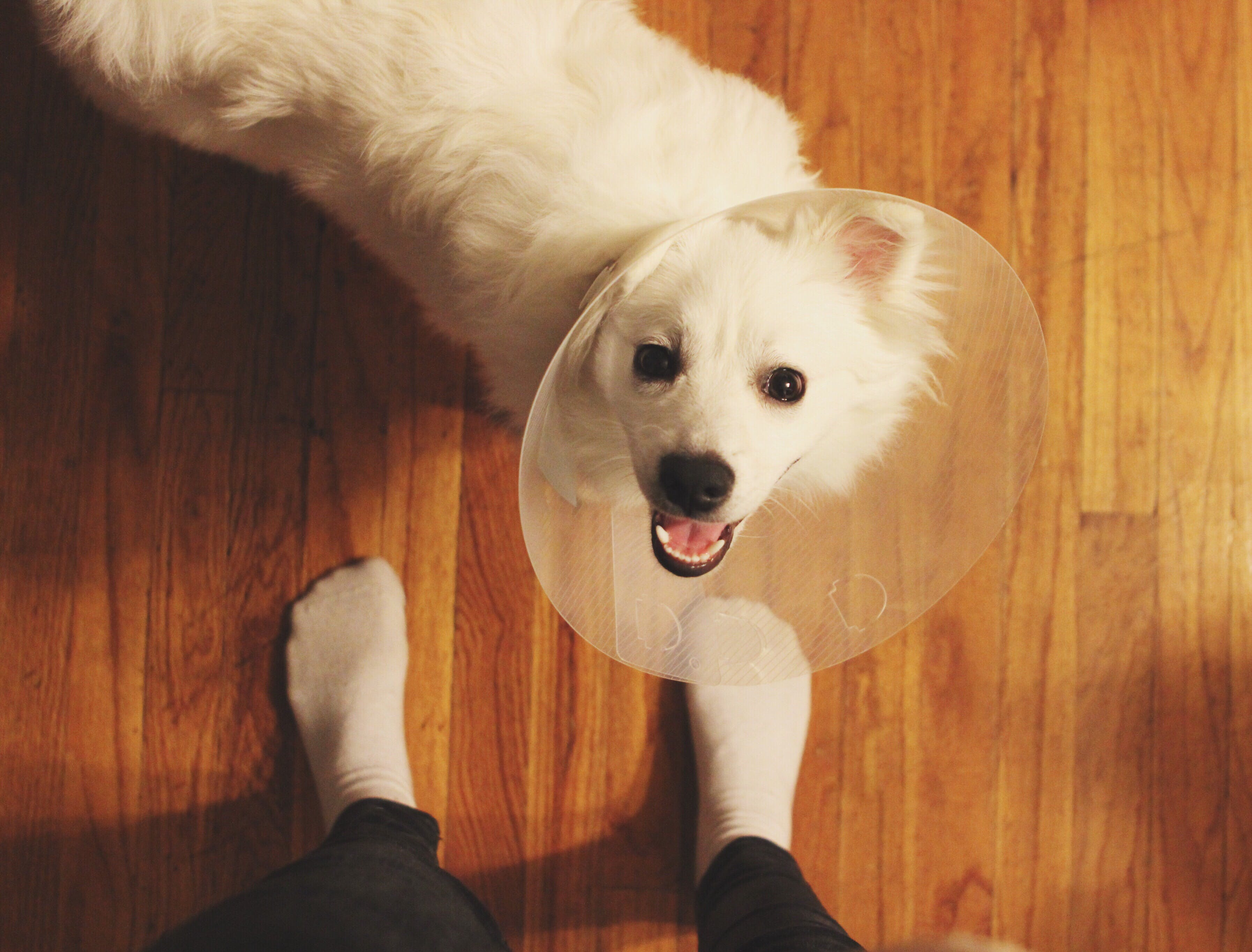 white dog wearing a cone looks up at his owner
