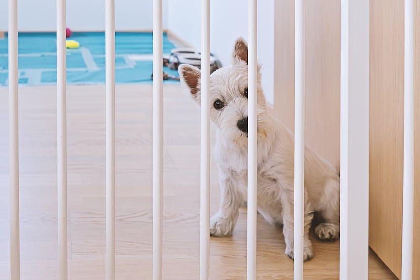 White Scottish Terrier stands behind a dog gate
