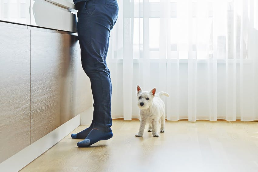 White Scottish Terrier with his owner in the kitchen