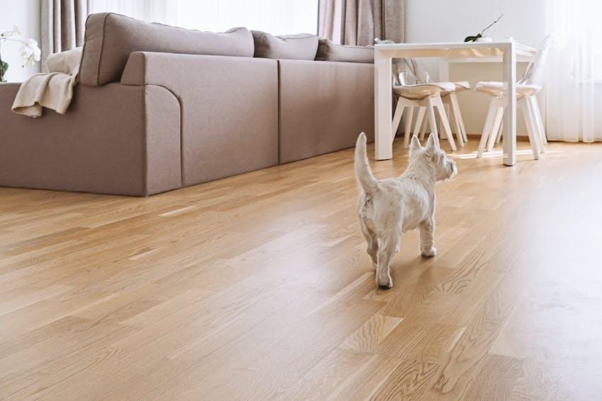 White Scottish Terrier dog walking in the living room