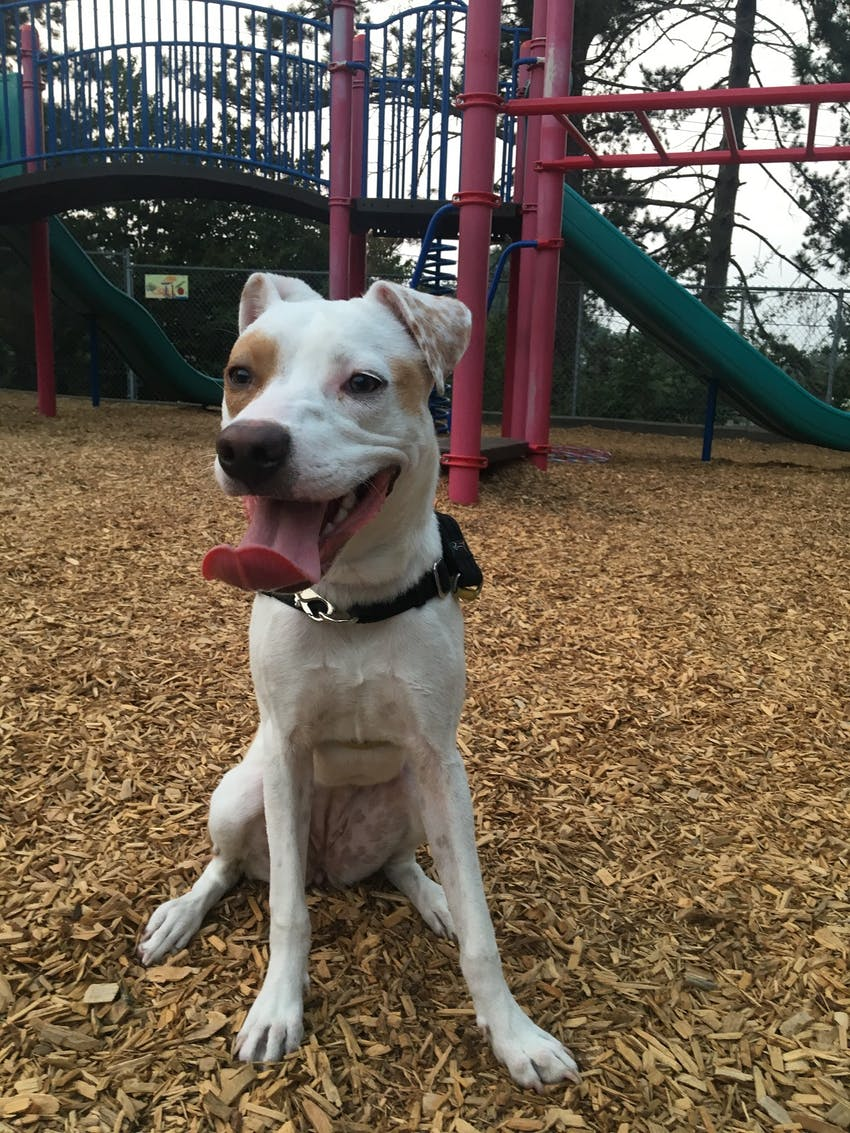 White and brown spotted dog sitting at the playground