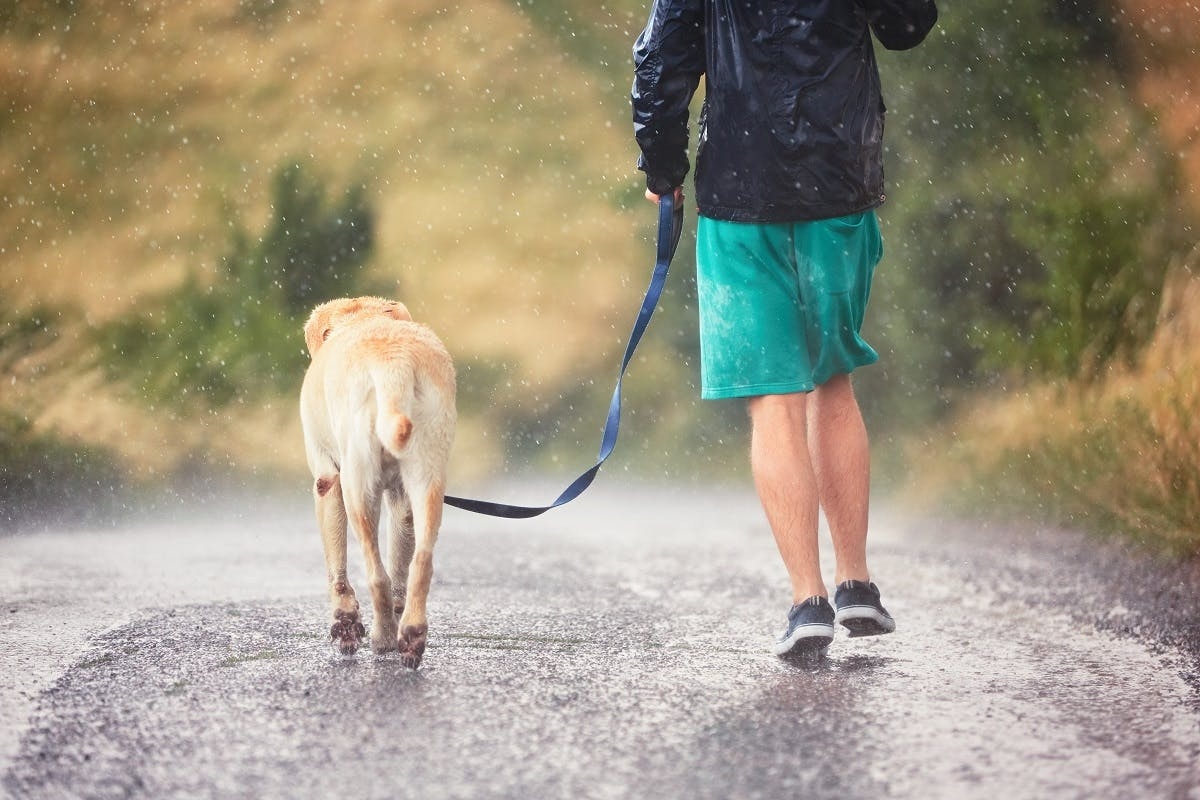 Yellow dog walks with his owner in the rain