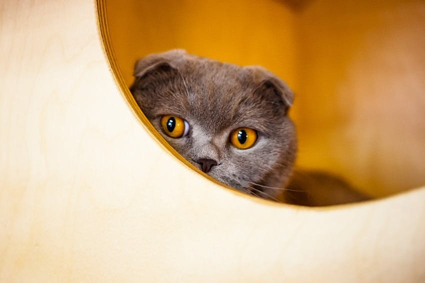 A grey cat with yellow eyes looking at the camera
